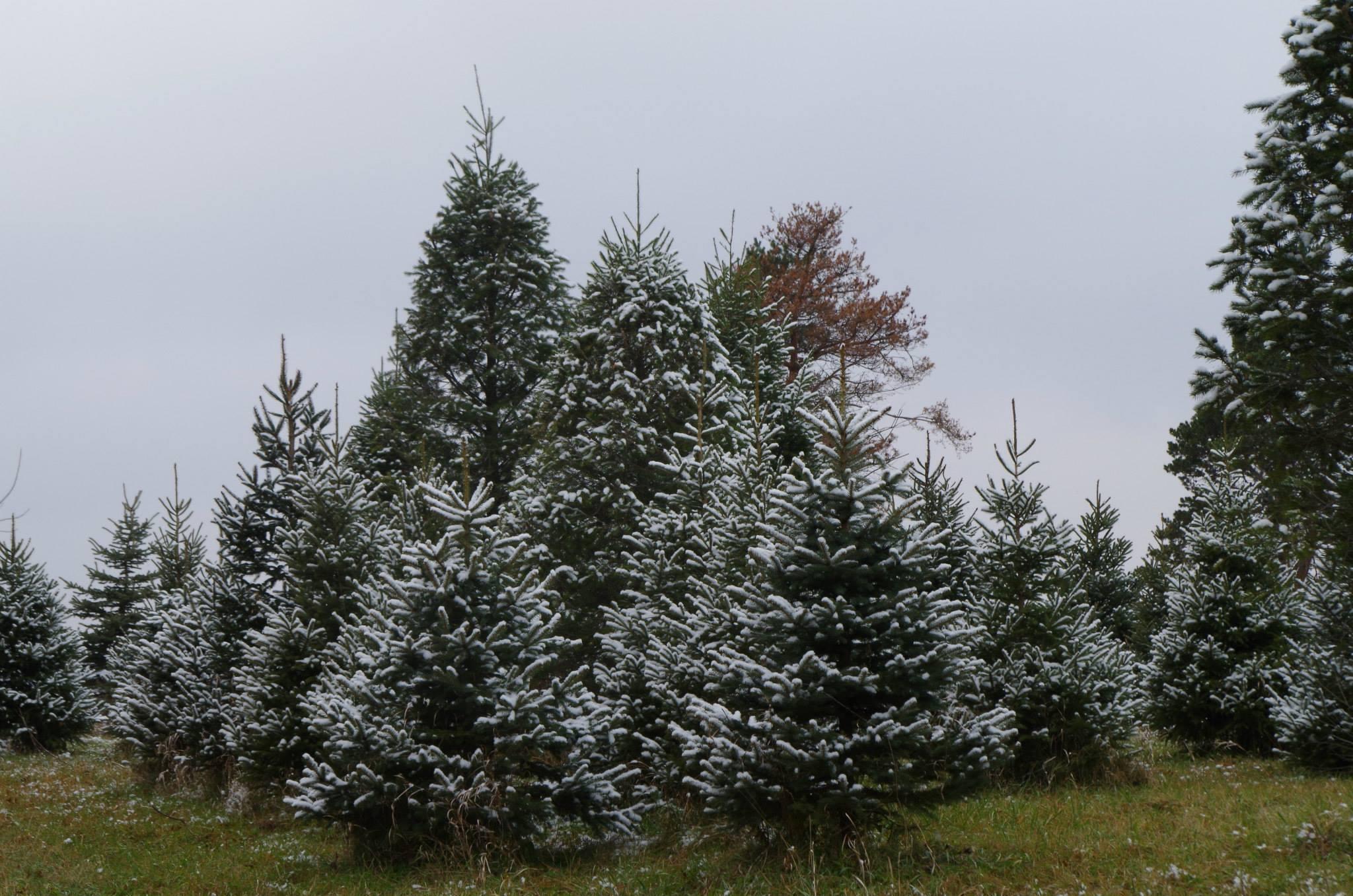 Christmas Tree Farm Quincy Il