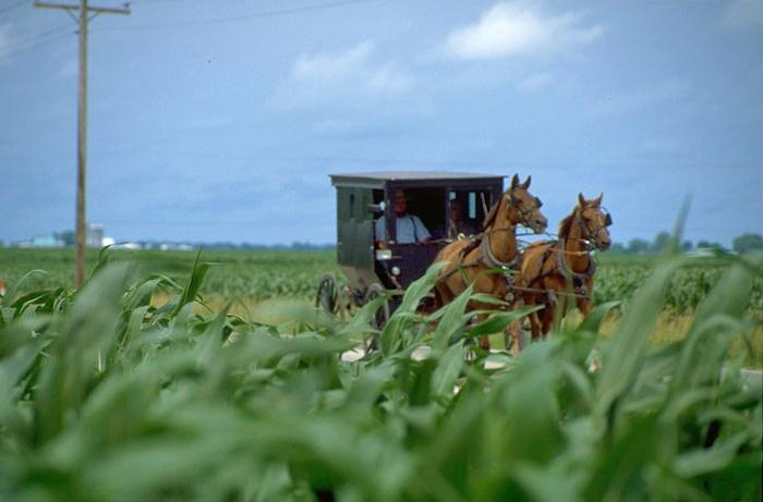 An Amish Buggy In The Fields Near Arcola, Illinois.