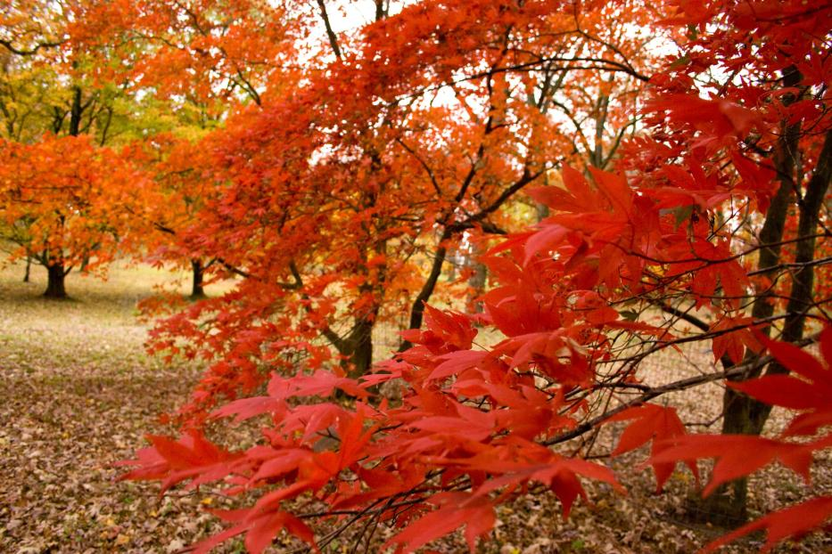 Maple Leaves Turn A Fiery