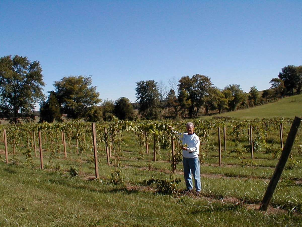 wandering in the grape vines at the Cache River Basin Vinyard