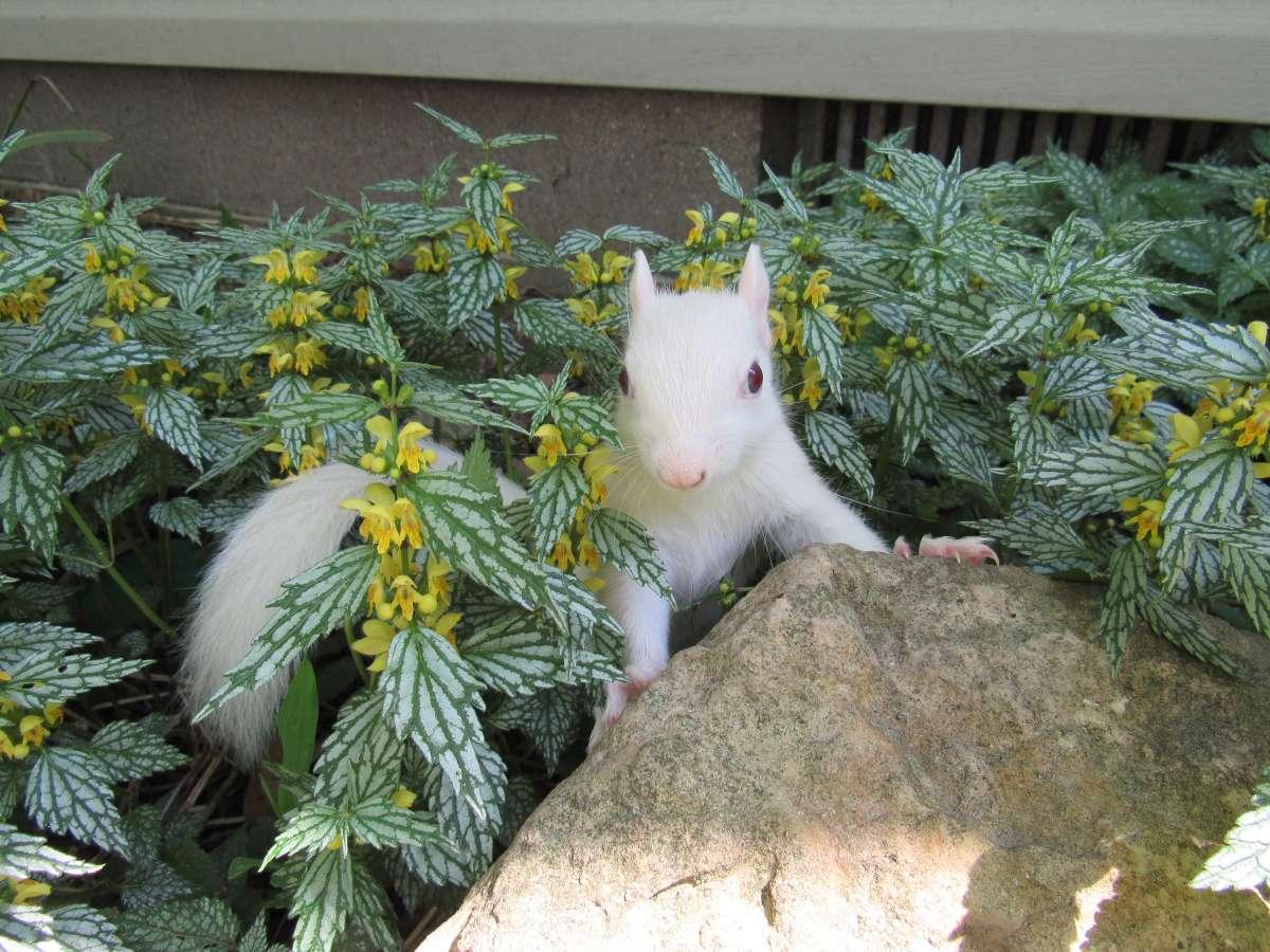 White squirrels in Olney, Illinois